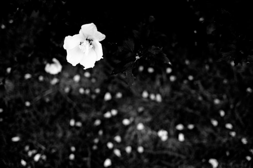The way flower dies.