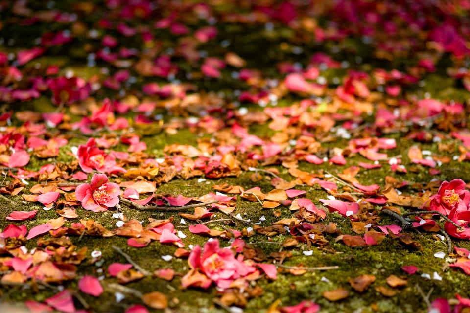 Carpet of peonies