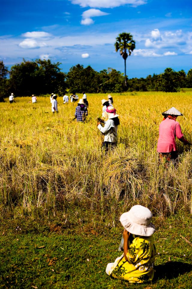 Harvesting rice.