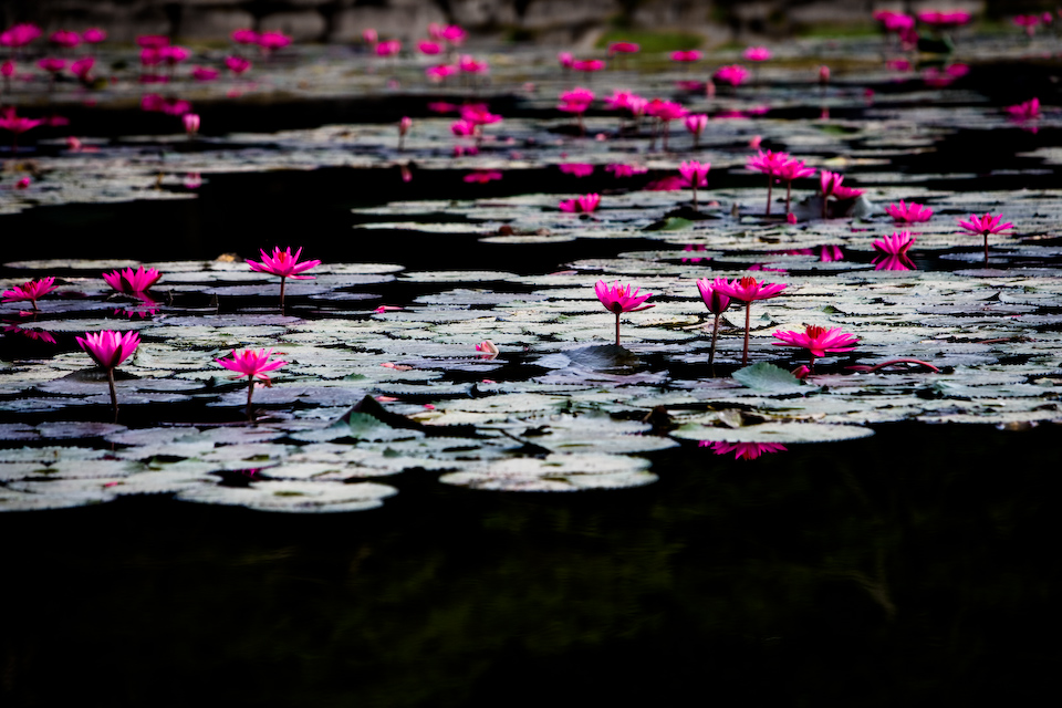 Lotuses bloomed in a morning.