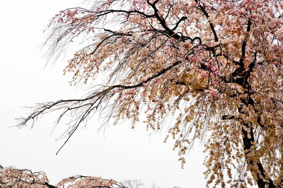 The Gion weeping cherry tree.