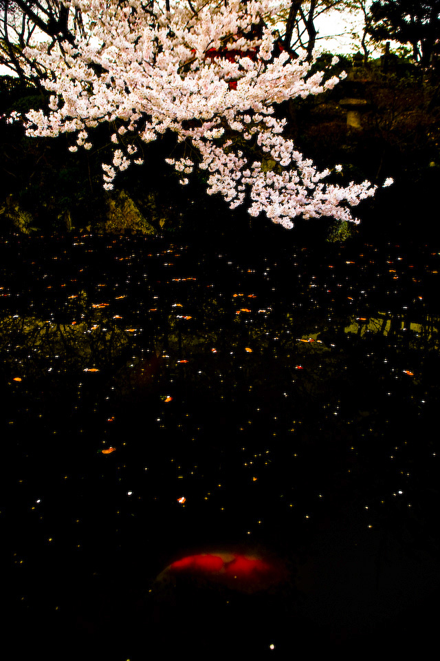 He swam into the cherry blossom below.